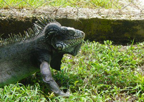 iguana,ropliai,dinozauras,driežas,gyvūnas,ropliai,oda,svarstyklės