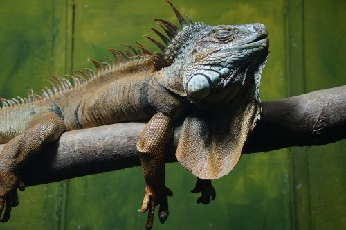 iguana,ropliai,driežas,drakonas,atsipalaidavęs,atsipalaidavimas,miegoti,nap,atsigavimas,susigrąžinti,gyvūnas,zoologijos sodas,priklausyti,naps,terariumas