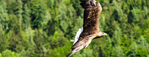 imperijos erelis,adler,raptoras,plėšrusis paukštis,skristi,freiflug,paukštis,laukinis paukštis,Salkūnai,Laisvas