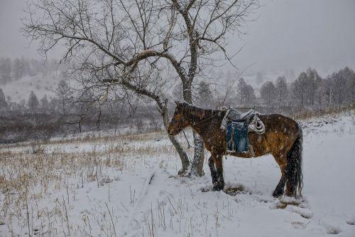 žiemą,arklys,sniegas,kantrybė,Bogarto kaimas,Mongolija