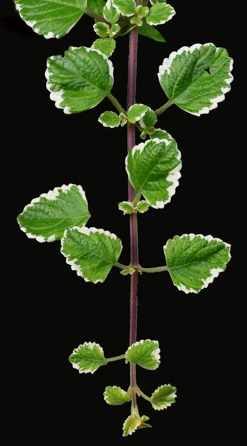 smilkalų augalas,karalius,aromatingas,aromatiniai,konteinerių gamykla,kabantis augalas,plectranthus coleoides,augalas,gėlė,baltos gėlės,lapija,flora