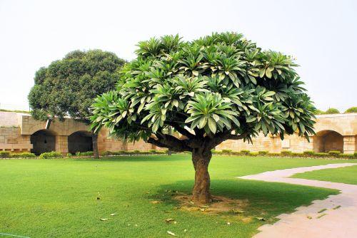 Indija,kapas,medis,botanika