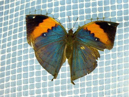 indian blattschmetterling,kallima inachus,drugelis,skristi,spalvinga,vabzdys,sparnas,mėlynas,oranžinė,juoda,drugelis namas,edelfalter,drugelis parkas,indian blattfalter