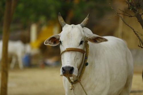 Indijos karvė,karvė indija,Indijos,Indija,karvė,asija,tradicinis,gyvūnas,kelionė,šventas,galvijai,kultūra,hinduizmas,žinduolis,šventas,gamta,bulius,religija,simbolis,ūkis,kaimas,turizmas,balta,kaimas,Žemdirbystė,pienas,šventykla