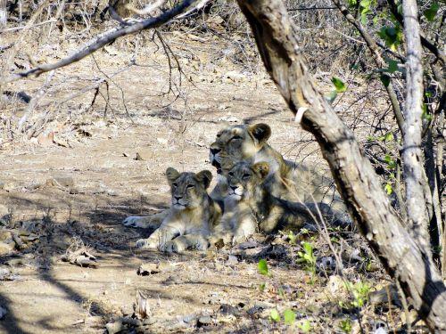 Indijos liūtas,panthera leo persica,liūtas,cubs,giras miškas,Indija,asiacinis liūtas,laukinė gamta,liūtys,didelė katė,gyvūnas,gyvūnai