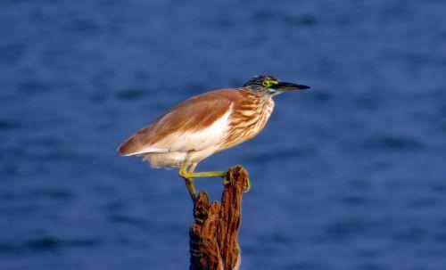Indijos tvenkiniai heronai,paddybird,ardeola grayii,paukštis,Wader,persekiotojas,Indija