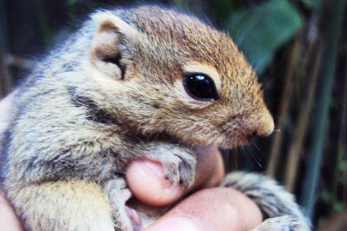 voverė, burundukas, mielas, žavinga, minkštas, mielas, kūdikis, jaunas, kailis, nekalta voverė