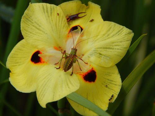 vabzdys,bestuburiai,Kriketas,gamta,gyvūnas,antenos,suaugęs,nariuotakojų,gėlė,geltona gėlė
