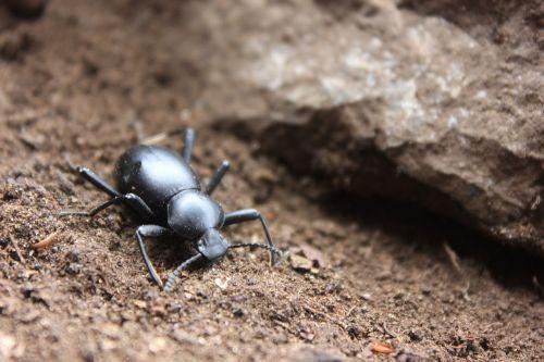 vabzdys,vabalas,juoda vabalas,mažas,nariuotakojų,lepidopteran,akmenys,Coleoptera,vabalas meloideo,gamta,vabalo vabzdys,mažas,gyvūnas,ensenada,šuolis,baja california