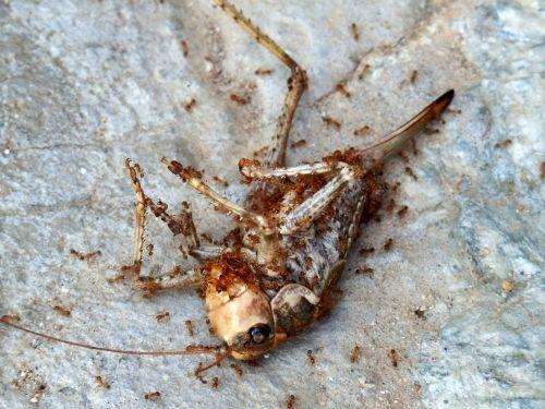 vabzdys,negyvas vabzdys,saldžiavaisis,žiogas,acrididae,skruzdėlės,karkasai
