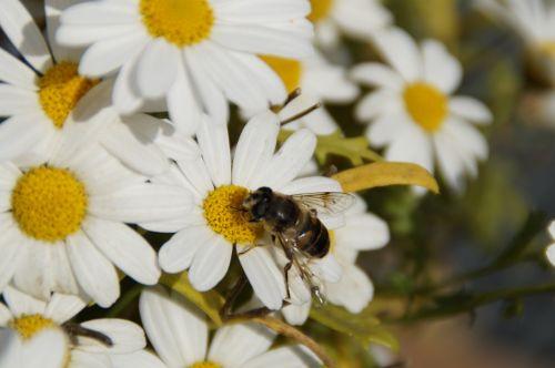 vabzdys,bičių,liūtys,žiedas,žydėti,maistas,apdulkinimas,rinkti žiedadulkes,rinkti nektarą