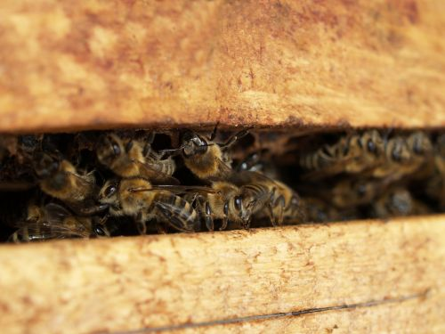 vabzdys,bičių,Uždaryti,gamta,medaus BITĖ,makro,medus,gyvūnas,rinkti medų,bitininkas,bitininkystė,korio rupiniai,avilys,avilys,bičių laikymas,sunkiai dirbantis,hum