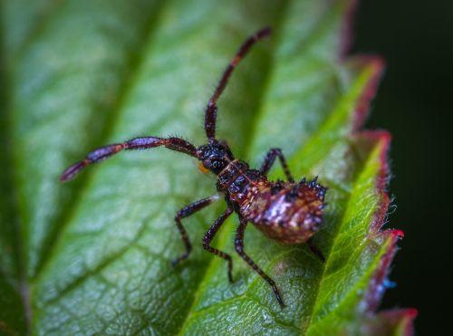 vabzdys,bespozvonochnoe,gamta,voras kaip vabzdys,nimfa,klaida,makro