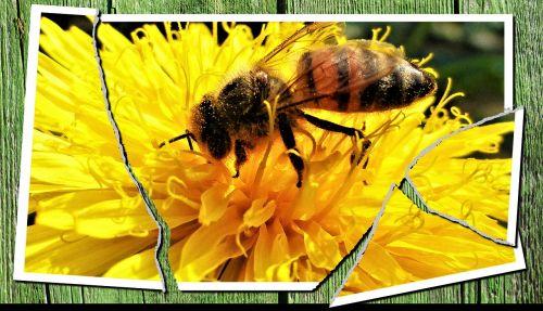 vabzdys, bičių, gamta, medus, gėlė, vaizdas, Dechire, pašaras, apdulkintojas, foragers, žiedadulkės, ląstelė, nuotrauka, maitinimas, be honoraro mokesčio