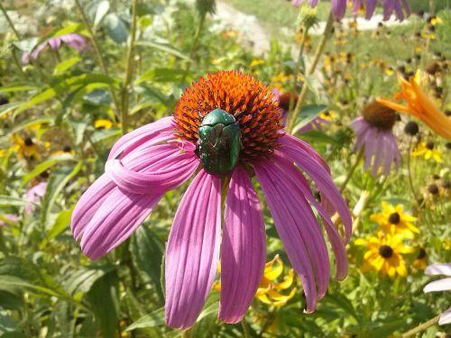 vabzdys,Echinacea,gėlė,vabalas,rožinis,Alyva,žalias,gamta,makro,vasara,vasaros gėlė,gėlės,oranžinė,vasaros gėlės,graži gėlė,sodo gėlės,violetinė,sodo gėlė,gražus,Iš arti