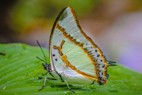 vabzdžiai,internetinis kinų-anglų kalbos žodynas,Wong nymphalidae,gamta,miškai,drugelis