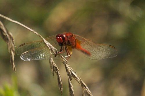 vabzdžiai, Dragonfly, gamta