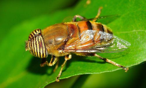 vabzdžiai,diptera,eristalinas