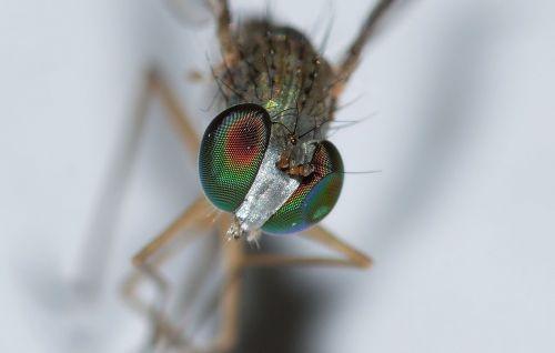 vabzdžiai,diptera,moscow