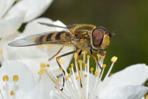 vabzdžiai,diptera,syrfa