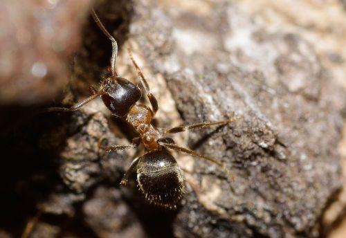 vabzdžiai,Hymenoptera,ant