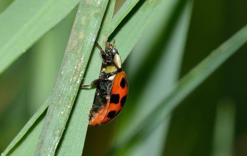 vabzdžiai,vabalai,hipodamija