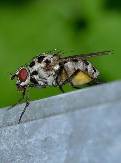 vabzdžiai, diptera, Maskva
