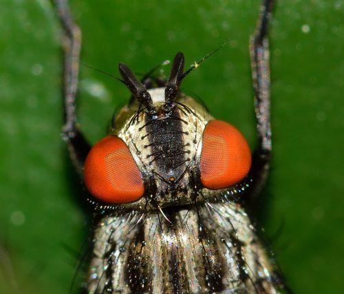 vabzdžiai,diptera,Muscina