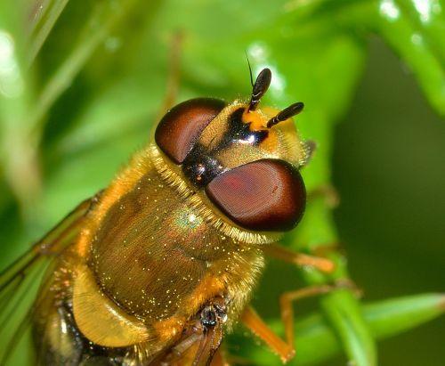 vabzdžiai,diptera,scaeva