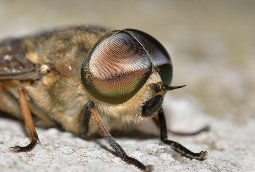 vabzdžiai,diptera,tabanus