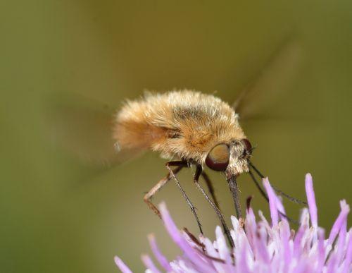 vabzdžiai,diptera,bombylius,mažesnis