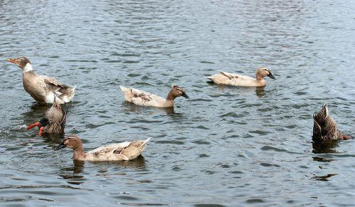 dalimis,paukščiai,panardinimas,vanduo