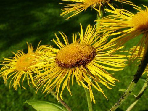 inula,gėlė,gėlės,geltona,kompozitai