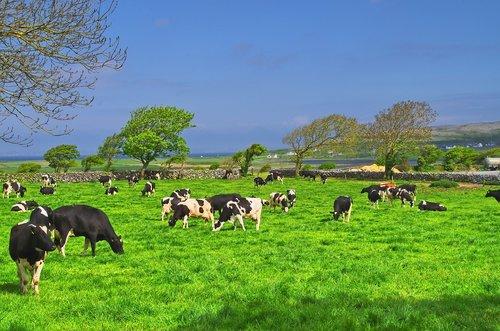 Airija, karvė, jautiena, kraštovaizdis, vasara, galvijų, pobūdį, dangus, ganyklos, Žemdirbystė, gyvūnas, sultingas ganyklos, medžiai, peiliai žolės, žolė, meadow, pieno žemės, gyvulininkystė, žolė žalia, sultinga žolė, laimingas karvės
