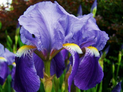 Iris, Fleur-De-Lis, Mėlyna-Violetinė Gėlių Pavasaris
