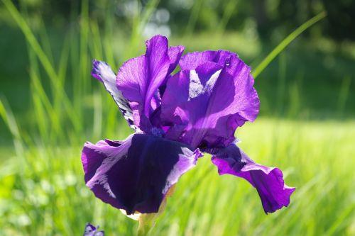 iris,žiedas,žydėti,tamsiai violetinė,gėlė,violetinė,violetinė,šviesus,mįslingas,barzdos rainelė,iris barbata hibridas,iris pallida,iris variegata,iridoideae,schwertliliengewaechs,iridaceae,einkeimblättrige augalas,einkeimblättrig,iris barbata elatior