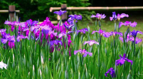 iris,gėlės,violetinė,raudona violetinė,mėlyna-violetinė,bambukas,žalias,meiji jingu šventovė,Tokyo,Japonija