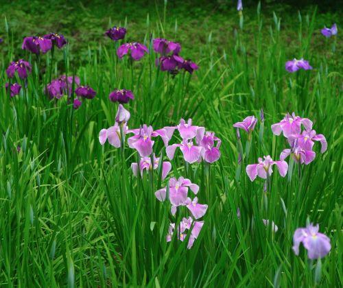 iris,gėlės,violetinė,rožinis,bambukas,žalias,meiji jingu šventovė,Tokyo,Japonija