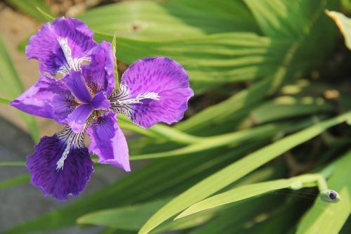 Iris, Purpurinė Fleur-De-Lis, Raudona Rainelė