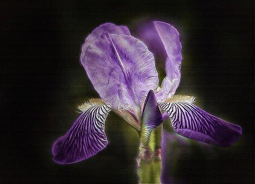 Iris, lelija, violetinė, gėlė, pobūdį, augalų, Sodas, spalva, vasara, Iš arti, botanika, pumpuras