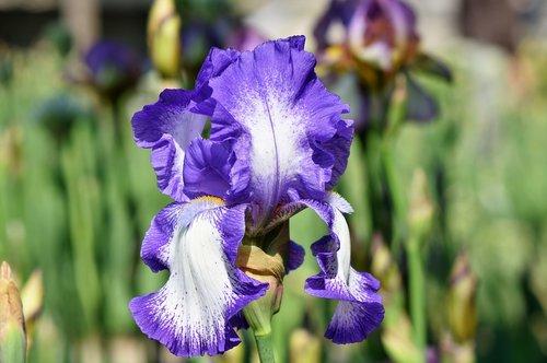 Iris, Iris Flower, schwertlilien gewaechs, žiedas, žydi, gėlė, barzdotas Iris, mėlyna, pavasaris, augalas