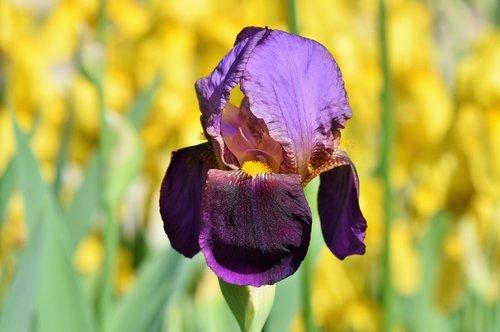 Iris, Iris Flower, schwertlilien gewaechs, žiedas, žydi, gėlė, barzdotas Iris, violetinė, pavasaris, augalų, Violetinė