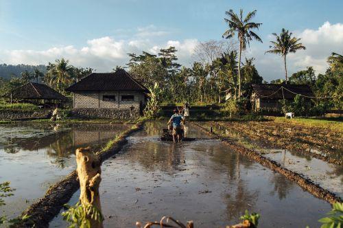 drėkinimas,auginimas,Žemdirbystė,ūkininkavimas,ekologinis ūkininkavimas,sodininkystė,drėkinti,vanduo,laukas,auga,Pietryčių Azija,purvinas,saldus,derliaus nuėmimas