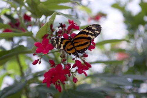 Isabellas eueides,drugelis,oranžinė,eueides,ilgis,sparnai,vabzdys,klaida,heliconius
