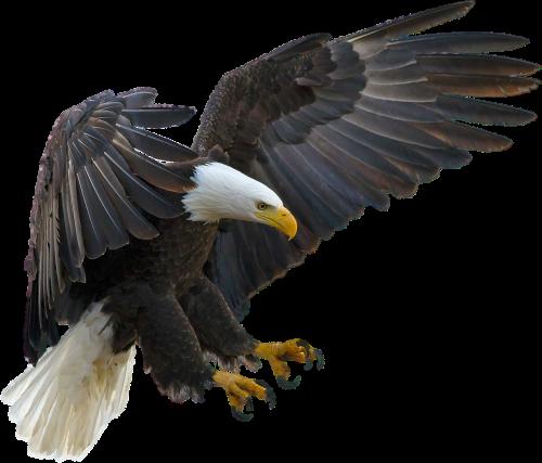 izoliuotas,adler,gyvūnas,paukštis,raptoras,gamta,Uždaryti,laisvė
