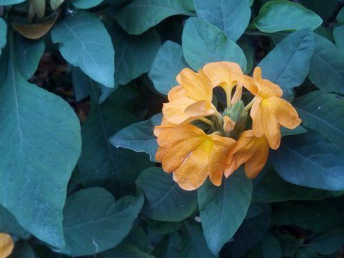tai palieka geles saggrni,gėlės,oranžinės geltonos gėlės,geltonos gėlės,krūmas,krūmas,rudens lapai,pa,Tailandas,fonas,gaivus,rytas