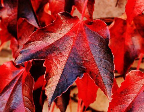 vyno partneris,laukiniai vynuogių lapai,augalas,vynuogių lapai,gamta,hedera spiralė,siena,lapai,įsikabinti,alpinistas,laukinis vynas,fono paveikslėlis,ruduo,kritimo spalva,rudens spalvos,atsiras,kritimo lapija,rudens nuotaika,kritimo lapai,rudens motyvas,tikri lapai,raudona,šviesus,lapai,raudoni lapai,raudonos lapijos lapai
