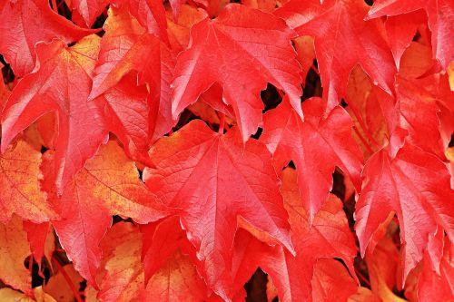 vyno partneris,laukiniai vynuogių lapai,augalas,vynuogių lapai,gamta,hedera spiralė,siena,lapai,įsikabinti,alpinistas,laukinis vynas,fono paveikslėlis,ruduo,kritimo spalva,rudens spalvos,atsiras,kritimo lapija,rudens nuotaika,kritimo lapai,rudens motyvas,tikri lapai,raudona,šviesus,lapai,raudoni lapai,raudonos lapijos lapai,tekstūra,fonas