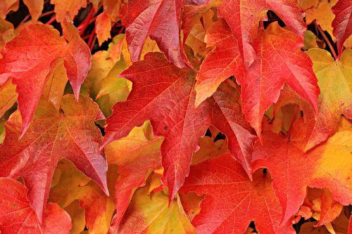 vyno partneris,laukiniai vynuogių lapai,augalas,vynuogių lapai,ivy lapai,gamta,hedera spiralė,siena,lapai,įsikabinti,alpinistas,laukinis vynas,fono paveikslėlis,ruduo,kritimo spalva,rudens spalvos,atsiras,kritimo lapija,rudens nuotaika,kritimo lapai,rudens motyvas,tikri lapai,raudona,šviesus,lapai,raudoni lapai,raudonos lapijos lapai,tekstūra,fonas