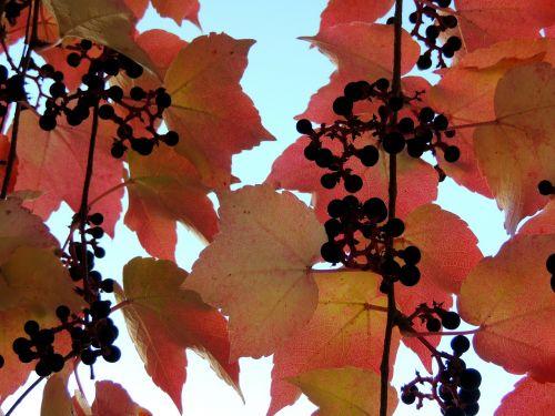 ivy ruduo,rausvai,lapai